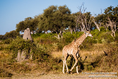 Baby Giraffe In The Okavango Delta, Botswana