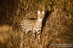 Serval In The Okavango Delta, Botswana