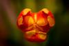 Tulpen Blüte (Henryk D) Tags: pflanzen makro blüte tulpe