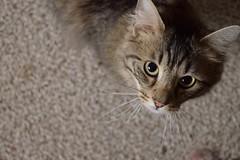 Winston (tracy.henegar) Tags: pet animal cat blackandbrown