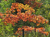 Fall Foliage (2) (bookworm1225) Tags: zoo october 2014 minnesotazoo northerntrail tropicstrail