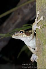 Polypedates macrotis IMG_8092 copy (Kurt (OrionHerpAdventure.com)) Tags: amphibian frog amphibians treefrog herps herpetology amphibia herpetofauna tropicalfrogs polypedates polypedatesmacrotis darkearedtreefrog