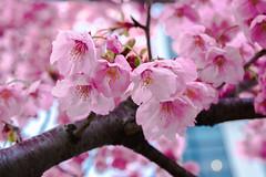 Sakura en Odaiba (Japn Entre Amigos) Tags: sakura odaiba