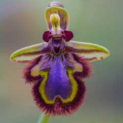 Ophrys speculum. (Free the Image) Tags: flowers plant orchid macro mirror bee ophrys mirrororchid ophrysspeculum saariysqualitypictures