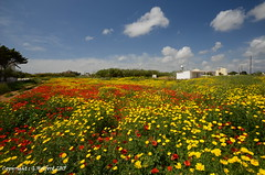 Cyprus Colour 2015 (Holfo) Tags: colour colourful cyprus red yellow protaras poppy daisy nikon d5100 landscape field outdoor plant flower med mediterranean meadow beautiful poppies cypriot nature flora vista