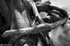 Roots - Bear Lake, Rocky Mountain National Park (Rocky Lakes Photography / www.rockylakesphoto.com) Tags: trees winter blackandwhite mountains nature scenery colorado alpine rockymountains rockymountainnationalpark bearlake mattried