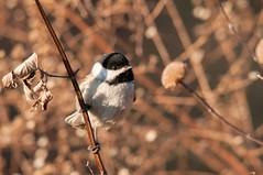 2015 Black-capped Chickadee (Explored) (DrLensCap) Tags: chicago bird robert point illinois il chickadee montrose kramer sanctuary blackcapped