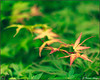 Maple Growth (ChristianRock) Tags: flowers nature garden georgia 50mm pentax manual manualfocus 50mmf14 rikenon 50f14 ricoh50mmf14 kmount rikenon50mmf14 k20d pentaxk20d rikenonxr50mmf14