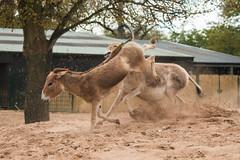 Onagars (Sara@Shotley) Tags: horse animal zoo chester onagar