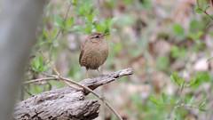 Winter Wren -- DSCN7790 (OrioleKEC1) Tags: birds wren winterwren notablebirds libertyreservoirdamtrail