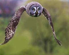 Great Grey Owl (coopsphotomad) Tags: greatgreyowl