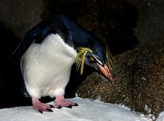 Anglų lietuvių žodynas. Žodis crested penguin reiškia kuoduotasis pingvinas lietuviškai.