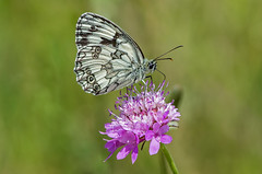 DSC1432 Marbled White.. (jefflack Wildlife&Nature) Tags: nature butterfly insect countryside woodlands wildlife ngc butterflies insects farmland lepidoptera fields heathland wildbirds marbledwhite