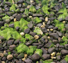 Moss and pebbles (Robs Retro Motor Racing) Tags: moss pebbles easternbeach geelong victoriaaustralia robertdavies