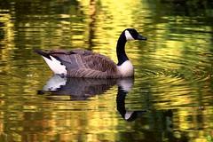 Golden goose (petrOlly) Tags: park summer reflection bird nature water birds reflections germany deutschland geese europa europe natura goose przyroda moenchengladbach rheydt schlossrheydt