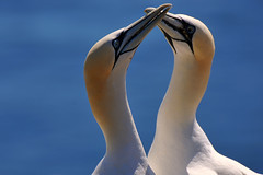 Dance (Nephentes Phinena ) Tags: northerngannet nordsee basstlpel northsea helgoland nikond300s