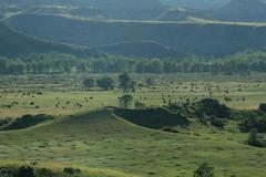 where the buffalo roam (capnadequate) Tags: theodorerooseveltnationalpark nationalpark park nature landscape badlands northdakota southunit scenic buffalo herd prairie green mist open