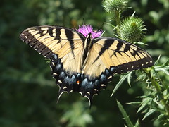 Swallowtail Butterfly Feeding on a Thistle Flower DSCF3036 (Ted_Roger_Karson) Tags: fujifilmxs1 swallowtailbutterfly swallowtail butterfly handheldcamera thisisexcellent thistleflowerhead thistle fujifilm xs1 raynox dcr150 super macro flower hand held camera back yard friends backyard animals flying motion northern illinois macrolife flowerhead flowers twop hd eyes pollen animal outdoor insect pollinator plant depth field the group ourplanet clear wing with proboscis tongue extended feeding scarlet thistleflower northernillinois