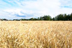 20160801_0062 (mystic_violet) Tags: nikond3300 waldviertel österreich austria niederösterreich grosgerungs feld weizenfeld wheatfield