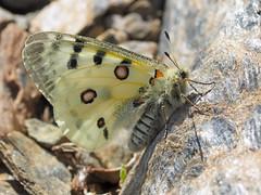 Parnassius     apollo  nevadensis (diegocon1964) Tags: lepidoptera apollo papilionidae papilionoidea parnassiinae parnassius nevadensis parnassiini parnassiusapollonevadensis