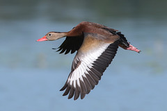 Whistler on the Wing (PeterBrannon) Tags: blackbelliedwhistlingduck dendrocygnaautumnalis flight florida lakeland polkcounty duckinflight orangeduck
