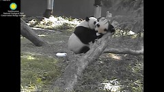 2016_07-15k (gkoo19681) Tags: nationalzoo dangling meixiang beibei lovenibbles ccncby