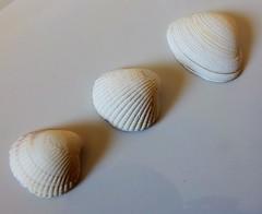 Three shells (sue_p32) Tags: stilllife shells white monochrome seashells pastel calm depthoffield diagonal week28 52in2016
