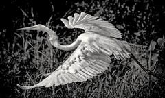 Heron in flight (Andy J Newman) Tags: nature bird heron flying flight florida everglade nikon d7100
