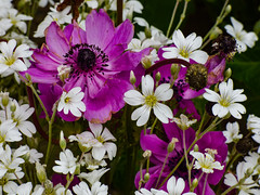 Spring Ends and Summer Begins (Steve Taylor (Photography)) Tags: green mauve pink purple white newzealand nz southisland canterbury christchurch northnewbrighton plant flower cerastiumtomentosum snowinsummer anemone spring summer naturethroughthelens brilliant