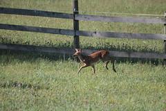 IMG_9109 (thinktank8326) Tags: nature wildlife deer spots fawn whitetaileddeer babyanimal
