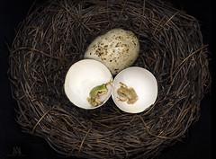 """are you my brother?"" (marianna_a.) Tags: macro cute green bird grey funny nest egg shell amphibian tiny conceptual treefrog tabletop quaileggs mariannaarmata p2570575 f64g77r2win"