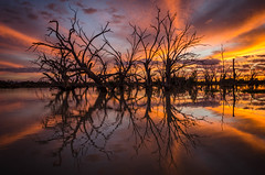 Mesmerising (DingoShoes - life's a dream) Tags: sunset lakewetherell silhouette nsw australia outback outdoor golden sky clouds lake water reflection nikon nikond7000 afsnikkor18105mm13556ged petrifiedtrees petrified trees branches bare wanderlust light menindee bright intense