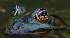 Golden eye (na_photographs) Tags: frosch auge sehen see frog