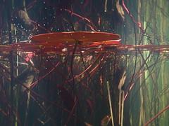 Altenburg (Harald Reichmann) Tags: wasser pflanze system blatt teich muster niedersterreich waldviertel ordnung verbindung stift seerose stengel unterwasser netzwerk altenburg organisch stngel anordnung stiftaltenburg