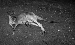 Roo and Joey (Toni Doyle) Tags: kangaroo roo joey motherandbaby australia wildlifeofaustralia