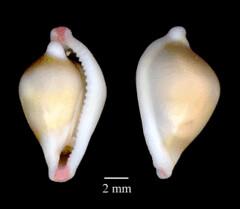 MOL_ 2338_P_vanhyngi_6185_01_317x276.gif (MaKuriwa) Tags: mollusca gastropoda mesogastropoda ovulidae pseudosimnia
