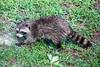 The Wet Look (Gabriel FW Koch) Tags: racoon rodent cat kin cousin feline garden backyard face mask nature wild wildlife outside natural cute pest sun sunlight canon sigma telephoto bokeh eos dof bandit