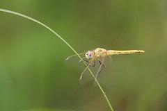 Red-veined Darter (Sympetrum fonscolombii), female (piazzi1969) Tags: valdilobo portugal algarve wildlife dragonflies odonata libelle redveineddarter sympetrumfonscolombii canon eos 5d markiii
