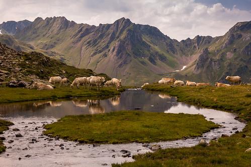 Cows near Lac Vert (Lac Bleu)