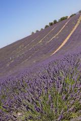 lavender in provence (SanctyYumi) Tags: france provence nature summer plants lavande lavender purple