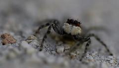 L'araignée et le cœur de pierre (¡! Nature B■x !¡) Tags: img3637 nature animal araignée sauteuse salticide saltique jumping spider cœur pierre stone heart macromondays opposites