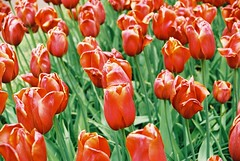 000026 (seustace2003) Tags: keukenhof nederland niederlande holland pays bas paesi bassi an sitr tulip tulp tulipan tiilip tulipa