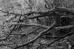 Broken branches on dog walk (dave and jodi piddington) Tags: black white branches branch sticks grass walk walking