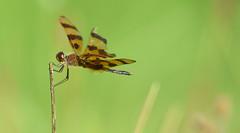 halloween Pennant (Brett Pouser) Tags: dragonfly halloweenpennant insect bug green orange wildlife outdoor summer macro