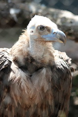 Cinereous Vulture (kylennadine) Tags: animal animals wildlife zoo zoos photography saint louis vulture bird birds scavenger
