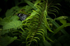 butterfly (VioletHippie) Tags: malaysia borneo banting iban headhunter d750 fullframe nikon photo color flowers nature animal life