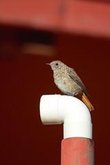 Redstart - Codirosso (f) (Andrea Lugli) Tags: redstart codirosso bird uccello canon eos 60d sigma 150600 os dg hsm appennino tosco emiliano north appennines modena italy