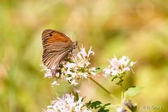 Schmetterling 153 (rgr_944) Tags: schmetterling butterfly papillon tiere insekten macro natur canoneos60dcanoneos70d rgr944 pflanzen blumen