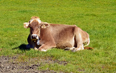 0531 Kuh- Siesta. Cow Siesta. (Fotomouse) Tags: fotomouse flickr kuh cow outdoor draussen natur nature gras ruhen liegend cowsiesta kuhsiesta landschaft landscape feld field