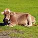 0531 Kuh- Siesta. Cow Siesta.